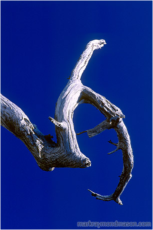 Abstract photo of a white, sickle-shaped branch against a pure blue sky