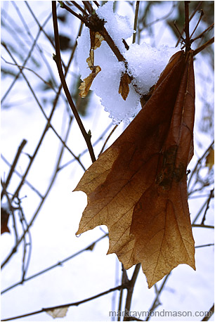 Fine art photo of a faded maple leaf hanging in bare branches against a brilliant background of snow