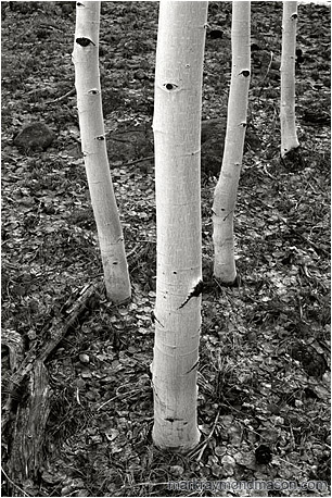 Fine art black and white photograph of four white tree trunks in a forest carpeted with silver dried leaves