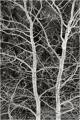 Fine art black and white photograph of brilliant white frozen tree branches, lit from below by the white light of reflections from the snow