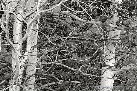 Fine art black and white photograph of slender, curved aspen branches shaped by the wind
