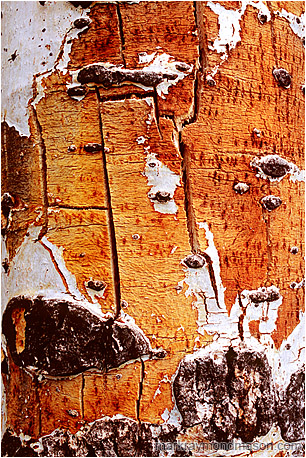 Abstract photograph of layered white bark and aged, cracked yellow wood