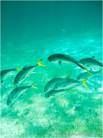 Shimmering Fish: Near Caye Caulker, Belize (2010) - Fine art photograph of a school of fish, diving together into bright mottled ocean shallows