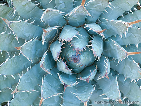 Fine art photo of cactus fronds spreading from the centre of the frame like a blooming flower