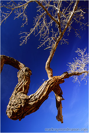 Abstract photograph of a twisted desert tree and brilliant leaves against a cobalt blue sky