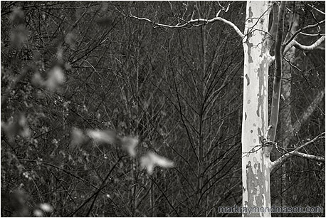 White Tree, Red Leaves (B&W): Near Flagstaff, AZ, USA (2003) - Fine art black and white photograph of a pale white tree and blurry, dark, intimidating brambles