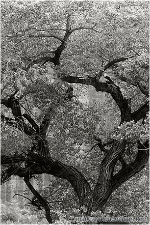 Fine art black and white photograph of a large tree set against the walls of a sandstone canyon