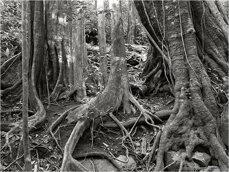 Trees, Roots: Near Monte Verde, Costa Rica (2013) - Black and white ...: www.markraymondmason.com/U01372BW.php