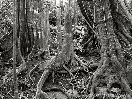 Black and white photo showing vines and plants twisted around a group of giant tropical tree trunks