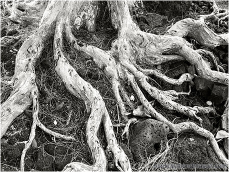 Black and white photo of dried white tree roots sprawling through a field of black, sea-worn lava rock
