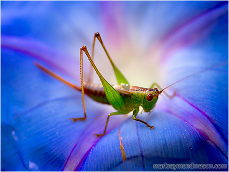 Fine art macro photograph showing a grasshopper set against a backdrop of a brilliant flower petal